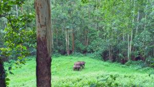 Wild Elephants of Munnar